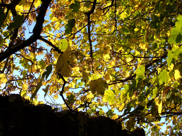 Golden The Summer Leaves...